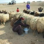 羊の乳を搾る(©山崎やよい,2009) Jabal al-Hass, Aleppo, Syria